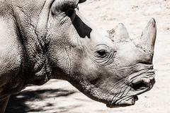 Stock Photo of portrait of a black (hooked-lipped) rhinoceros (diceros bicornis), south afri
