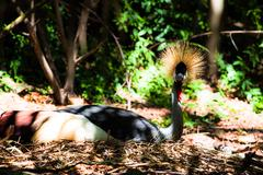Stock Photo of grey crowned crane on blured background