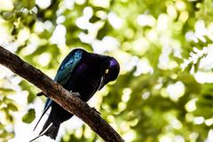 One of the most spectacular birds of the rain forest Stock Photos