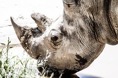 Portrait of a black (hooked-lipped) rhinoceros (diceros bicornis), south afri Stock Photos
