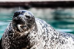 Stock Photo of close-up of a harbor seal coming out of the water with details on whiskers an