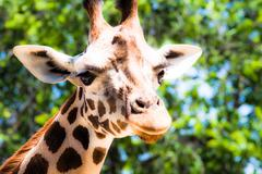 giraffe (giraffa camelopardalis) in local zoo - stock photo