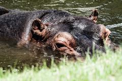 the hippopotamus (hippopotamus amphibius), - stock photo