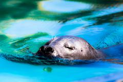 close-up of a harbor seal coming out of the water with details on whiskers an - stock photo