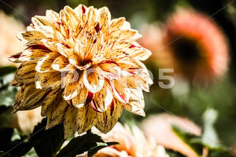 Stock photo of dahlia flower design perfect background