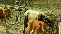 Cows 1 - stock footage