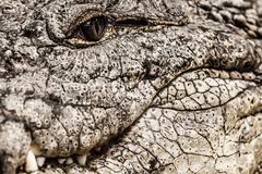 Closeup of an adult male caiman Stock Photos