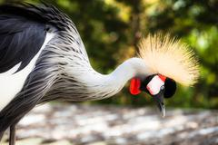 Grey crowned crane on blured background Stock Photos