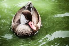 duck swimming in a bright green lake - stock photo