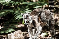 Ring-tailed lemur in dutch monkeypark Stock Photos