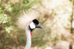 grey crowned crane on blured background - stock photo