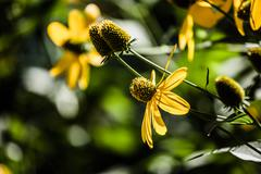Stock Photo of black eyed susan flowers background