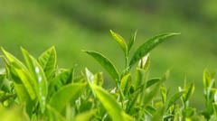 Tea plants close-up in Munnar Kerala India Stock Footage