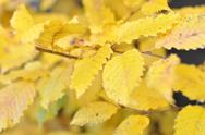 Yellow leafs of a Beech Tree in Autumn Stock Photos