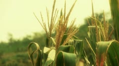 Lush corn leaves in agriculture farmland in rural areas. Stock Footage