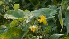 Lush corn leaves & loofah flower in agriculture farmland in rural areas. Stock Footage