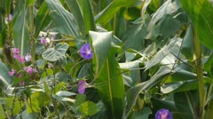 Lush corn leaves & morning glory in agriculture farmland in rural areas. Stock Footage