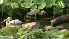 Grey heron and great white pelican Stock Footage