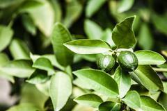 Lemons on green tree Stock Photos