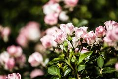 roses on a bush in a garden - stock photo
