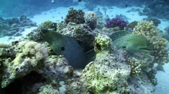 Two Moray on Coral Reef, Red sea Stock Footage
