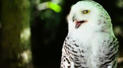 Valkoinen pöllö keltaiset silmät - 3. / 3 (matala dof) Arkistovideo