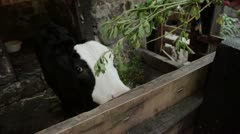Cow Calf Being Fed Alfalfa Herbs Stock Footage