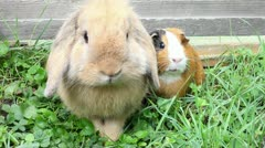 Big rabbit and frightened guinea pig Stock Footage