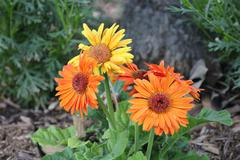 Orange and yellow flowers Stock Photos