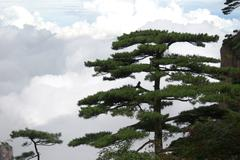 pine tree in Mount Huang Shan - stock photo