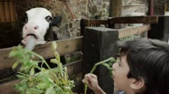 Kids Feeding Young Cow With Alfalfa Stock Footage