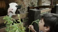 Stock Video Footage of Kids Feeding Young Cow With Alfalfa