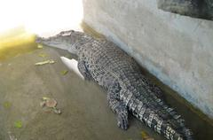 Crocodile is between land and water Stock Photos