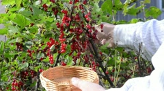 Natural red currant bush berry move wind rural garden Stock Footage