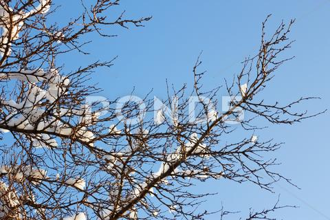 Stock photo of tufts of snow on the plum branch