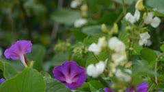 Little white flowers & Morning Glory. Stock Footage