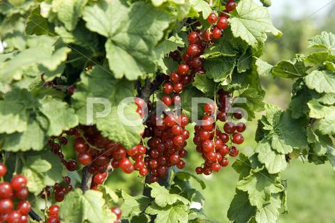 Stock photo of red currant