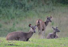 sambar deer in forest at khao yai national park, thailand - stock photo
