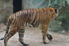 Asian- or bengal tiger standing Stock Photos