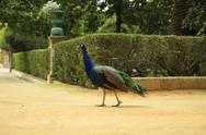 Walking male peacock Stock Photos