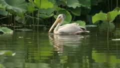 Great White Pelican eating and swimming Stock Footage