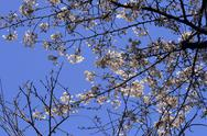 Blossom in japan Stock Photos