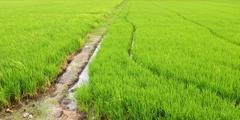 Paddy rice fields Stock Photos