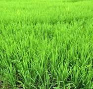 green rice fields of thailand - stock photo