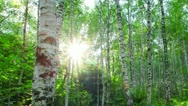 Morning in a birch forest Stock Footage