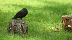 Black pigeon Stock Footage