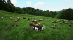 Flock of sheep grazing on a field - stock footage