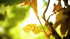 Yellow leaves in the wind - stock footage