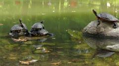 Turtle family sunbathing - stock footage