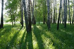 birch trees with long shadows - stock photo